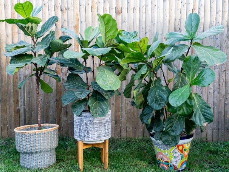 three fiddle leaf fig plants