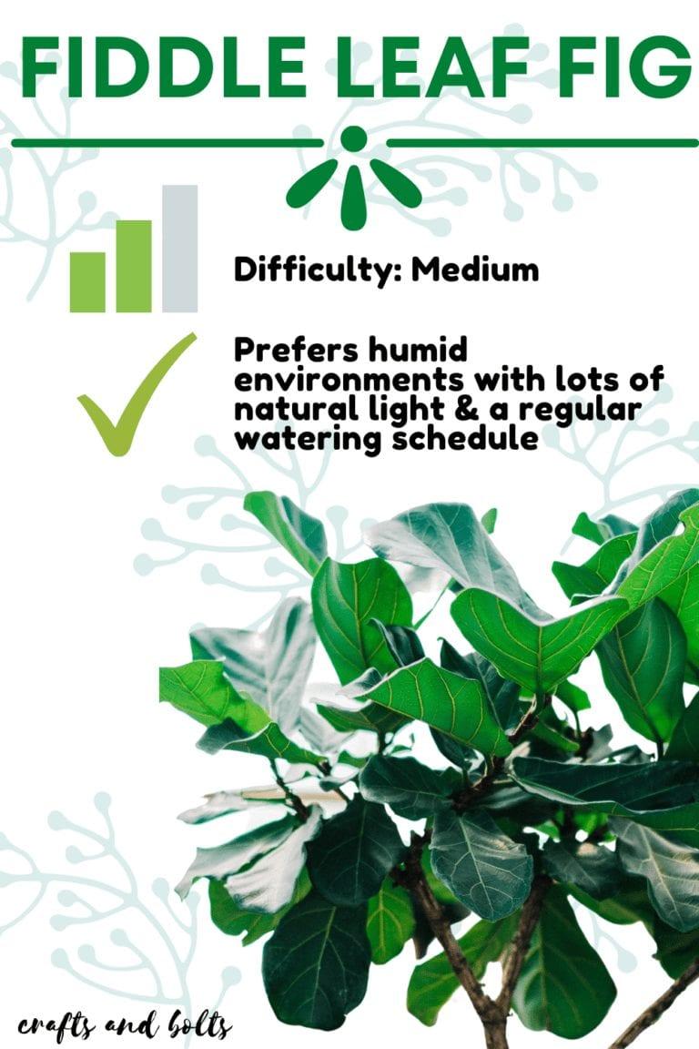 Fiddle Leaf Fig Level Medium